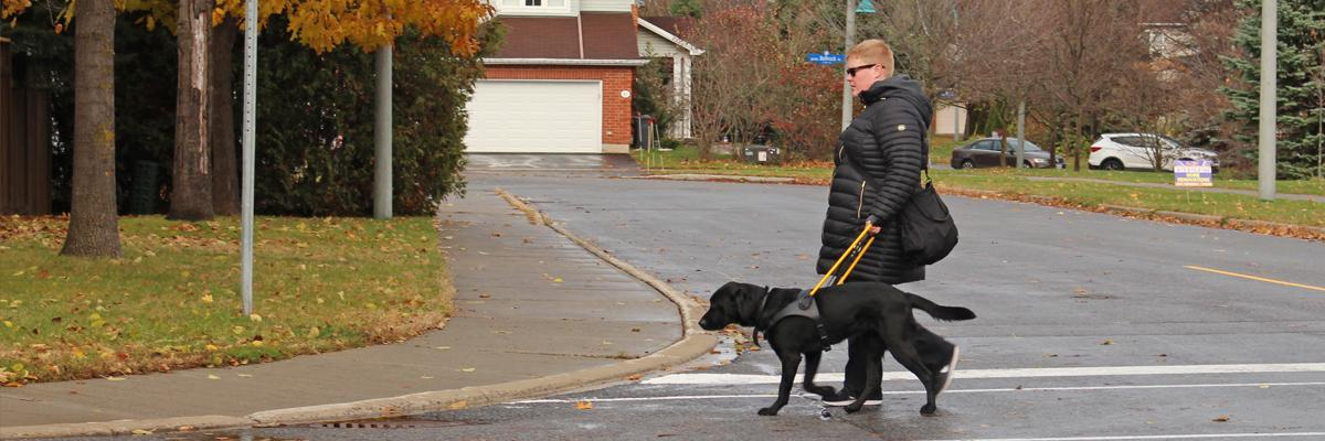 A woman crosses the street with a black Lab in a yellow harness.