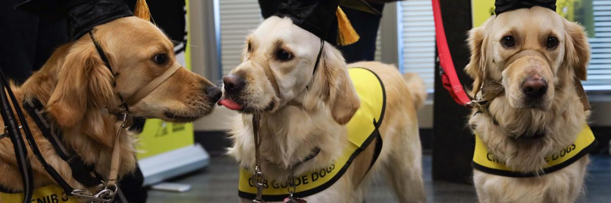 Three CNIB Guide Dogs during a CNIB Guide Dog Graduation ceremony. All three dogs are wearing graduation caps