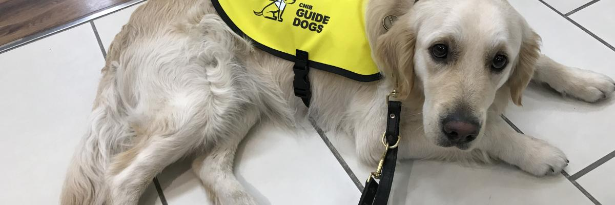 CNIB guide Dog wearing a yellow vest