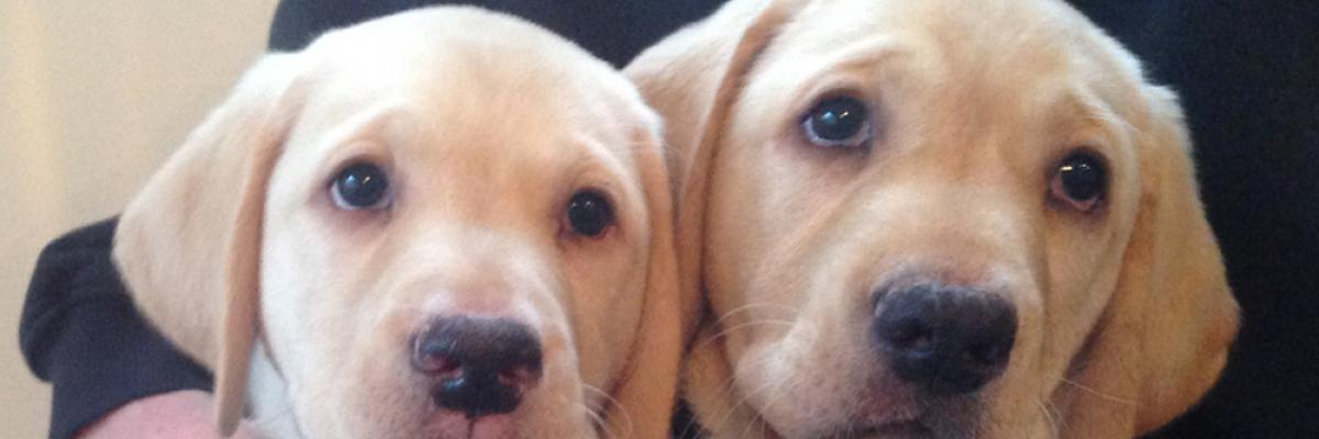 Two golden retreiver puppies are in the arms of a person