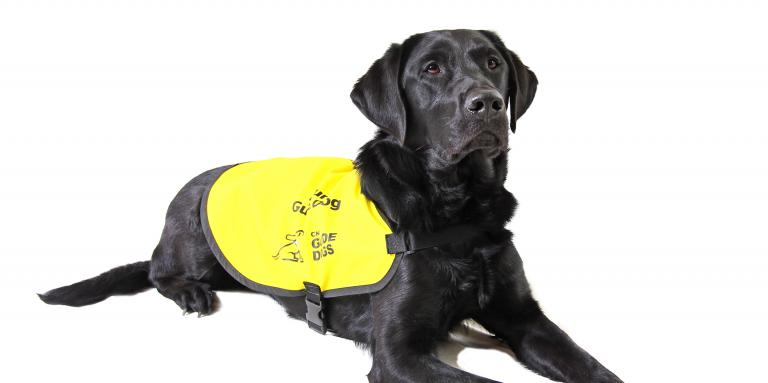 Photo of a black lab guide dog wearing a yellow vest