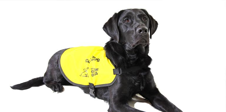 A Black Lab wearing a yellow vest.
