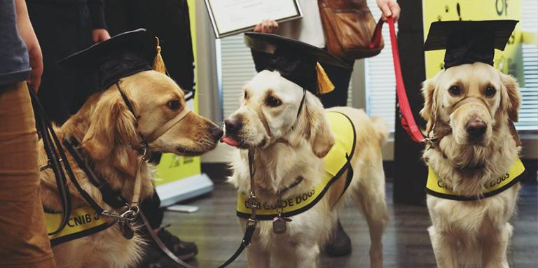 Three guide dogs in graduation caps.