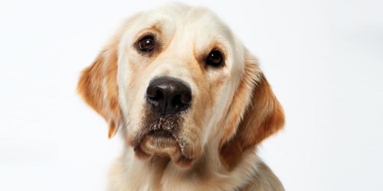 The face of a Golden Retriever on a white background.