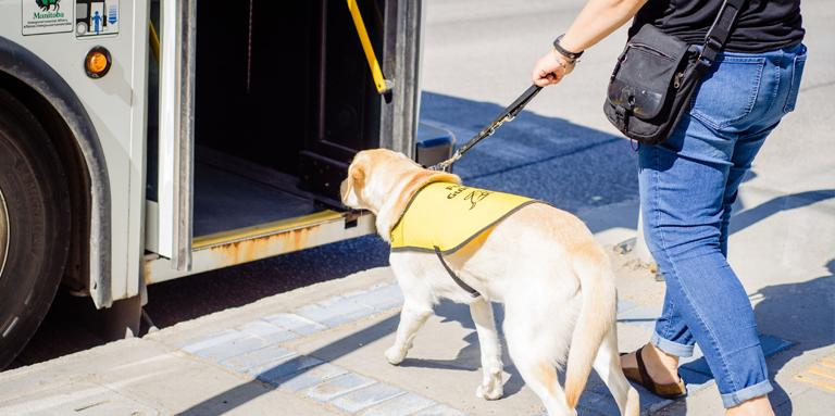 A yellow guide dog wearing a yellow vest, boarding a bus.
