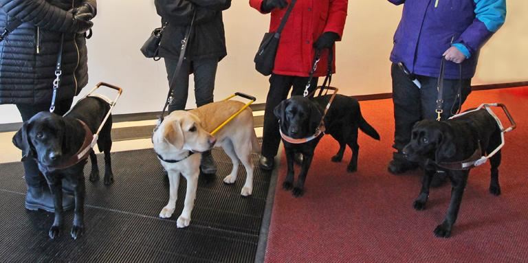 4 guide dogs (three black and one yellow) in harnesses at the feet of their handlers.