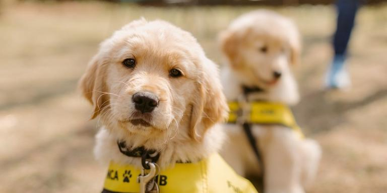 Two beautiful CNIB Guide Dog Golden Retriever pups in training.